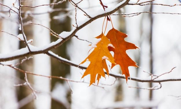 Sneeuw bedekt tak van rode eik met droge bladeren in het forest