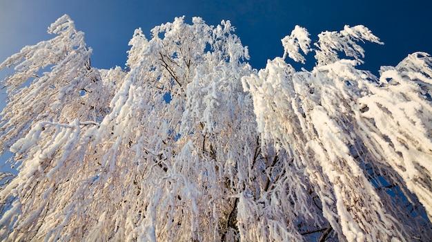 Sneeuw bedekte bladverliezende berken in de winter, witte sneeuw ligt overal op de boom, blauwe lucht