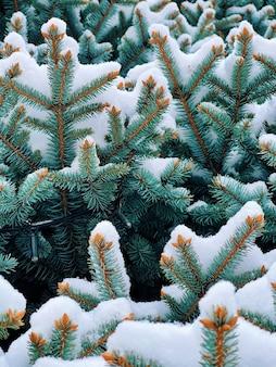 Sneeuw bedekte pijnboomtakken close-up, groenblijvende spar.