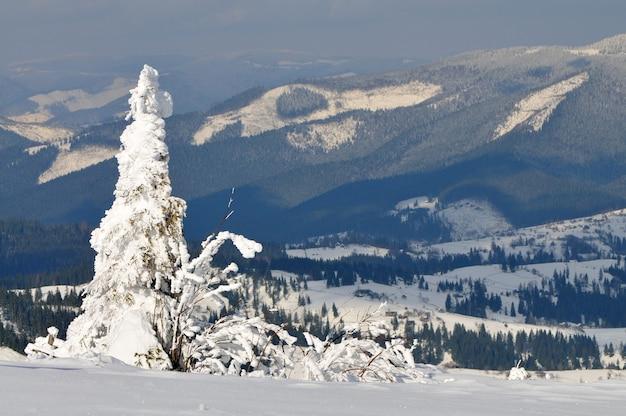 Sneeuw bedekte sparren, winterlandschap, bewolkte hemel, dieren in het wild
