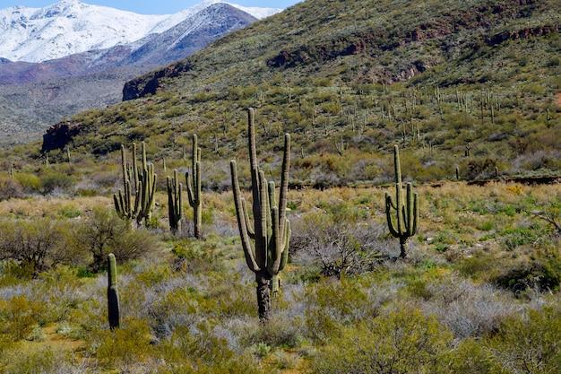 Sneeuw behandelde bergen met saguarocactus die in sneeuwlandschap wordt behandeld
