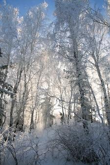Sneeuw behandelde bomen in de winterbos