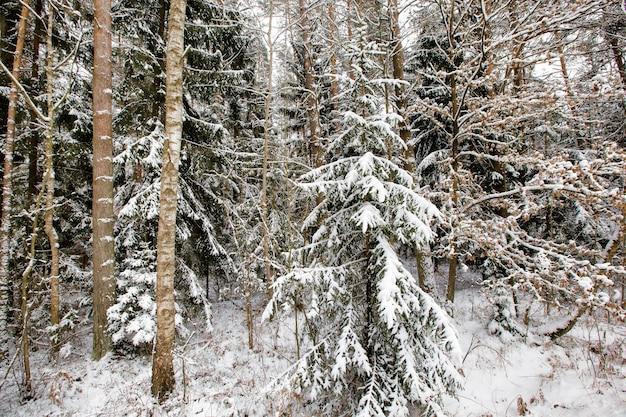 Sneeuw behandelde naaldbomen