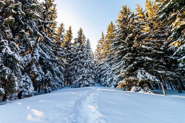 Sneeuw behandelde pijnboombomen in karpatische bergen in de winter zonnige dag.