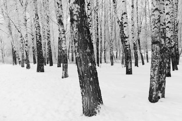 Sneeuw berkbomen in het zwart-witte park