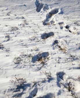 Sneeuw gefotografeerd in het winterseizoen, die verscheen na een sneeuwval, close-up, in de sneeuw zijn er veel sporen van mensen die een wandeling in de natuur hebben gemaakt