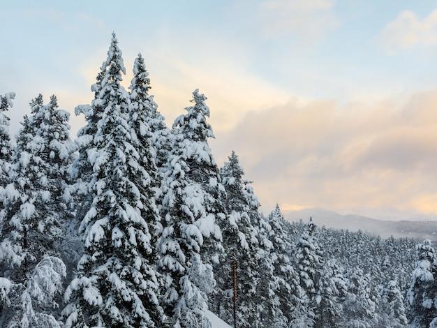Sneeuw op de sparren met een mooie kleurrijke lucht