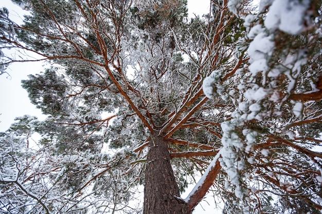 Sneeuw winterbos met hoge dennen, besneeuwde bomen. wintersprookjesbos bedekt met sneeuw