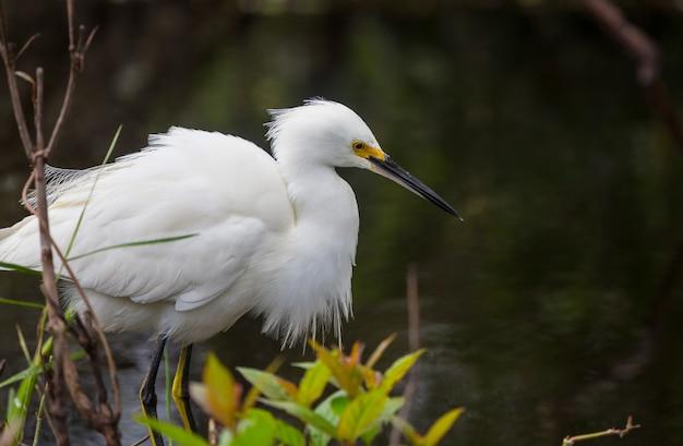 Sneeuwaigrette in everglades national park, florida.