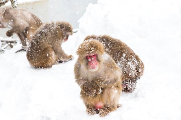 Sneeuwapen japans op de wintersneeuw