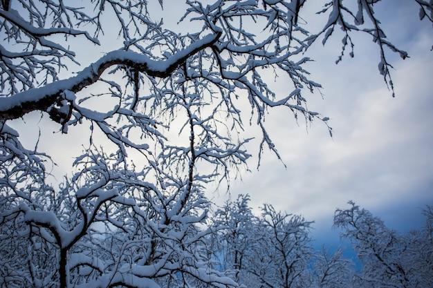 Sneeuwbomen en bos in nuorgam