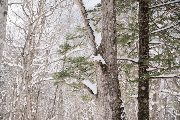 Sneeuwbos bij togakushiheiligdom, japan
