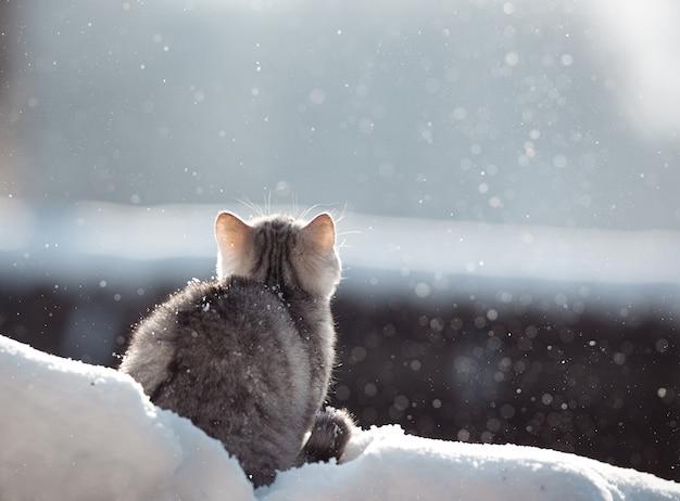 Sneeuwkat kattenras schots
