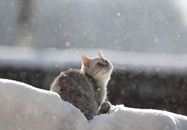 Sneeuwkat kattenras schots Premium Foto