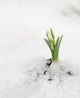 Sneeuwklokje bloem die uit echte sneeuw komt