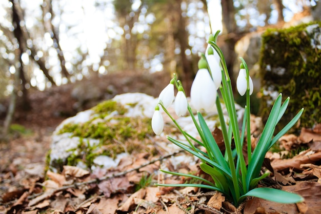 Sneeuwklokje bloem in bos close-up, natuur achtergrond. wilde bloem achtergrond