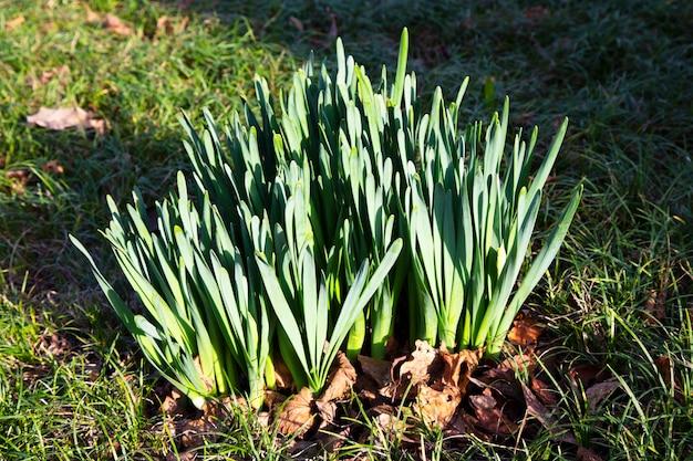 Sneeuwklokje, een groep jonge sneeuwklokjesstelen zonder bloemen in het park. ontluikende primula's, vroege lente, nieuw leven