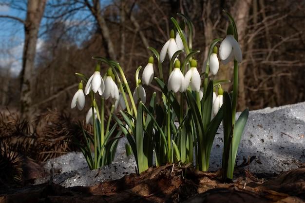 Sneeuwklokje galanthus nivalis eerste lentebloemen wilde natuur