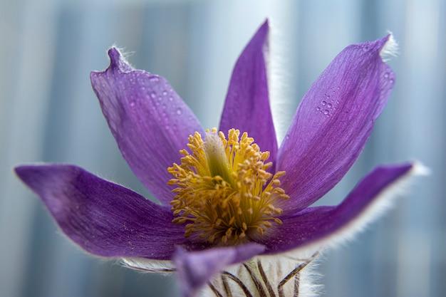 Sneeuwklokje lentebloemen. eerste lentebloemen. flits in de foto. waterdruppels