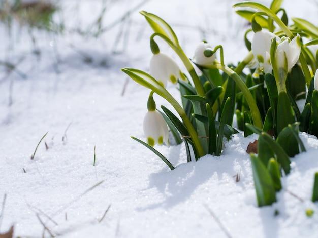Sneeuwklokje met bloesem