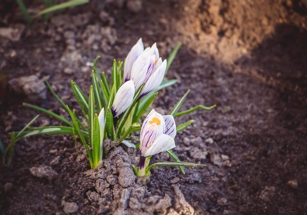 Sneeuwklokjes en krokussen groeien in het voorjaar uit de grond