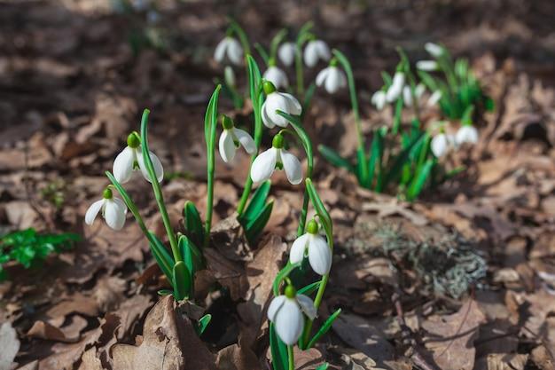 Sneeuwklokjes groeien in het bos. mooie eerste lentebloemen.