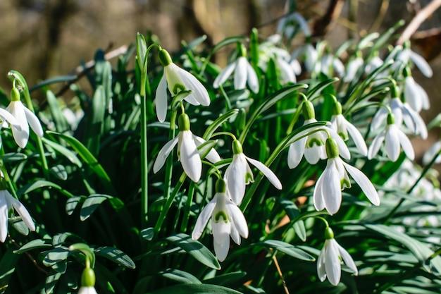 Sneeuwklokjes in het voorjaar, sneeuwklokje bloemen in het bos