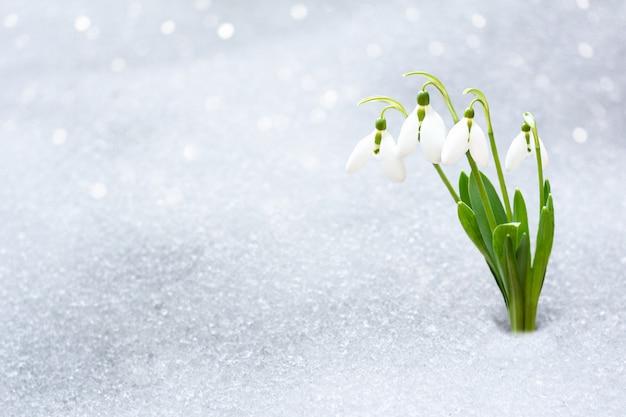 Sneeuwklokjes in het vroege voorjaar van onder de sneeuw met een plaats voor de inscriptie.