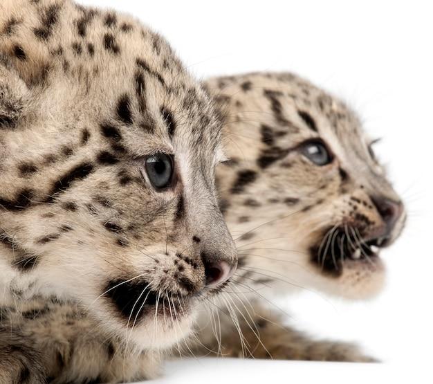 Sneeuwluipaard -uncia uncia of panthera uncia (2 maanden oud)
