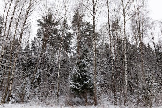 Sneeuwverstuivingen en bomen in de winter, diepe sneeuwverstuivingen en bomen na de laatste sneeuwval, bomen en koud winterweer na de sneeuwval
