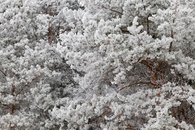Sneeuwwitte bevroren dennentakken met lange naalden in het bos, koude winterkoude en vorst, details in het bos