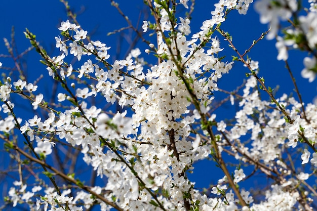 Sneeuwwitte kersenbloesem aan een boom in de tuin, de specificiteit van de lenteaard in landbouwgebieden, bloemen worden gebruikt voor honingbijen