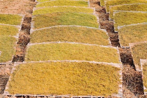 Snij en droog tabaksbladeren gedroogd op het veld