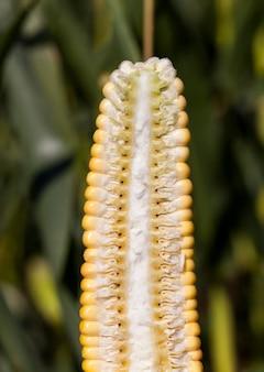 Snijd de helft met de structuur van maïskolven met zaden die exploderende zaden, close-up