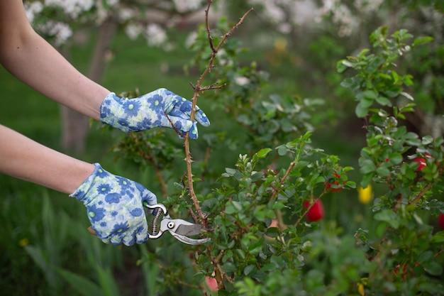 Snoeien en snijden plant in de tuin in het voorjaar
