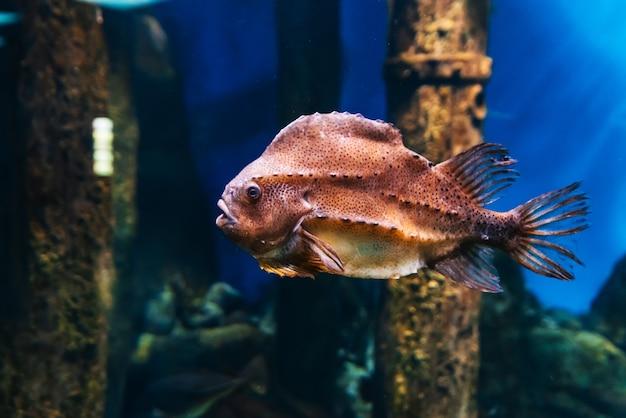 Snotolf cyclopterus lumpus vissen zwemmen onder blauw water