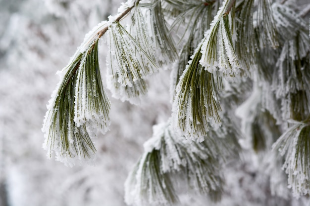 Snow covered pine tree branches close up takken van pijnboom met sneeuw