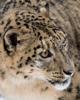 Snow leopard extreme close-up