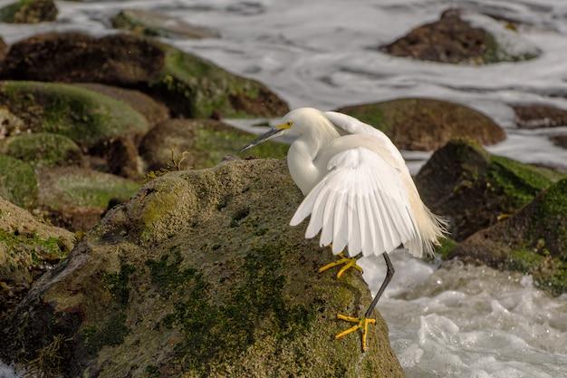 Snowy egret langs de kustlijn van de stille oceaan