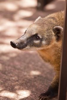 Snuit van een coati