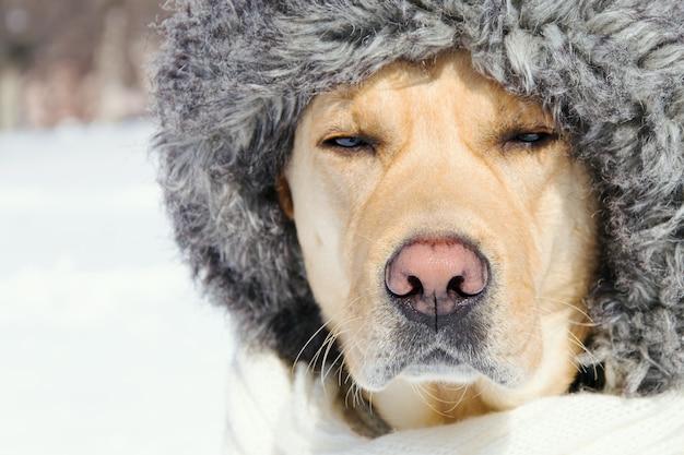 Snuit van een hond in een hoedenclose-up met gesloten ogen