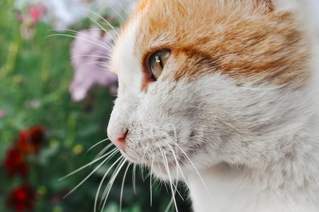 Snuit van een rode en witte kat