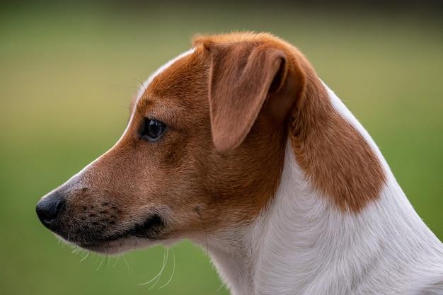 Snuit van een schattige parson russell terrier met een bruine kop op een wazig park
