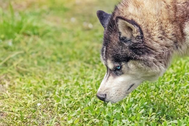 Snuit van mooie pluizige husky hond in weide, close-up
