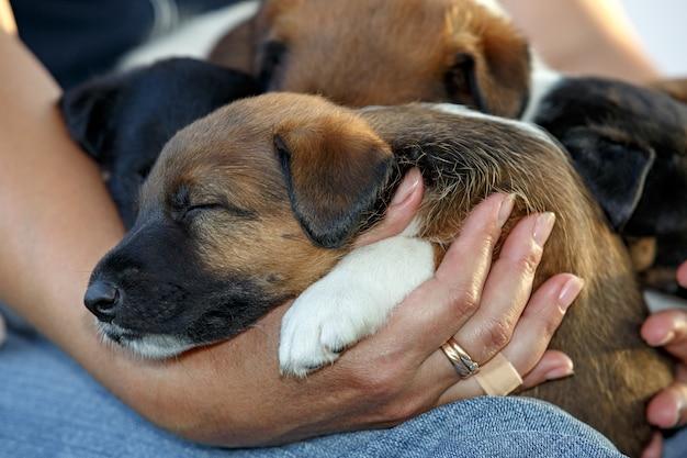 Soepele fox terrier pups slapen op de handen van de mens. familie jachthonden. buiten in park.