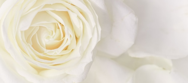 Soft focus abstracte bloemen achtergrond witte roos bloem macro bloemen achtergrond voor vakantie merk