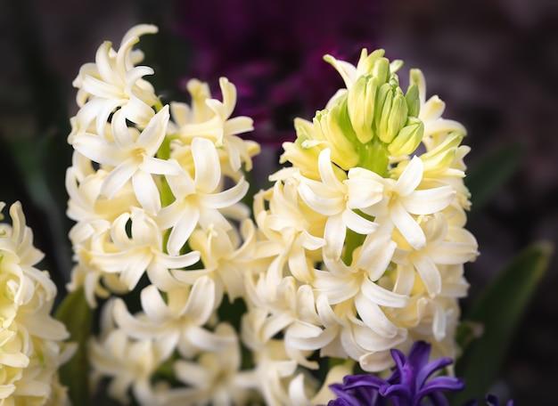 Soft focus sea... afbeelding van hyacint bloemen bloeien in de lente. groep prachtige veelkleurige hyacinten