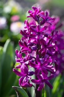 Soft focus sea... afbeelding van hyacint bloemen bloeien in de lente. paarse hyacint bloesem.