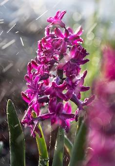 Soft focus sea... afbeelding van hyacint bloemen bloeien in de lente. paarse hyacint met druppels water in de regen