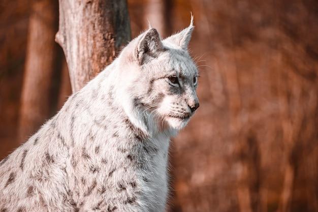 Soft focus shot van een lynx zit hoog op zoek naar een prooi met bruine bomen